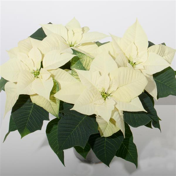 Poinsettias in memory/honor of a loved one